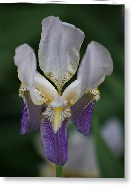 Purple And White Iris 2 Greeting Card by George Miller