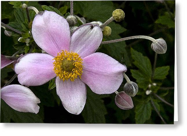 Greeting Card featuring the photograph Purple Anemone II by Michael Friedman