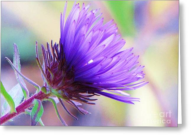 Greeting Card featuring the photograph Purple Aster  by Michele Penner