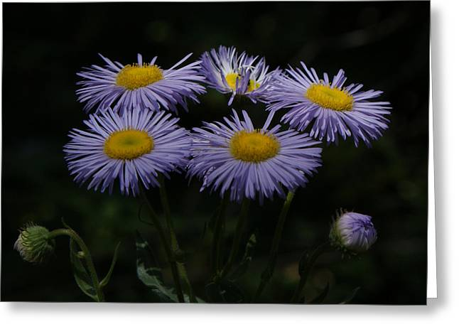 Purple Asters Greeting Card by Ernie Echols