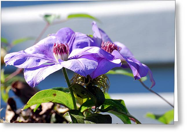 Greeting Card featuring the photograph Purple Clematis by Linda Cox