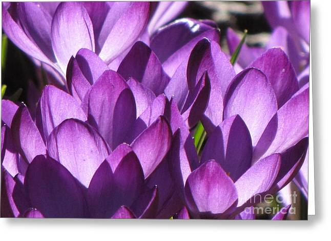 Greeting Card featuring the photograph Purple Crocus by Michele Penner