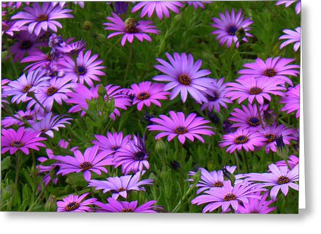 Purple Daisies Square Greeting Card by Carol Groenen