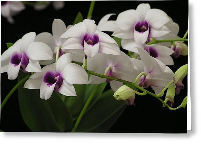 Purple Dendrobium Stem Greeting Card by Andrea Drake