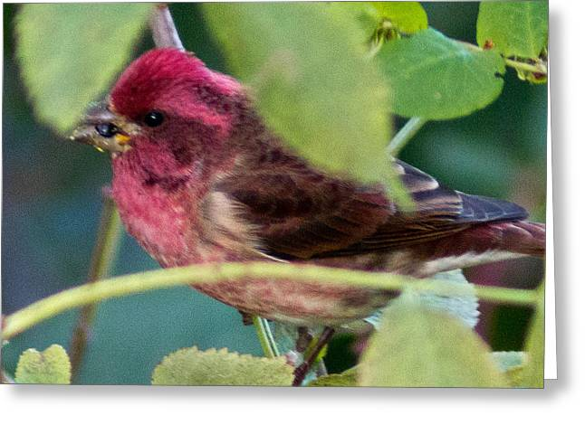 Purple Finch 3 Greeting Card