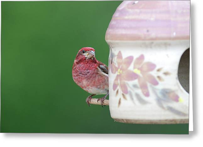Purple Finch At Feeder Greeting Card