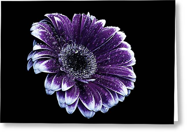 Purple Gerbera  Greeting Card by Fiona Messenger