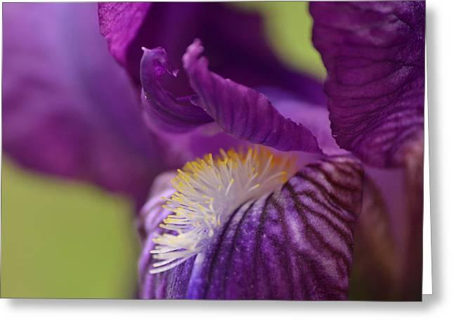 Purple Iris 1 Greeting Card