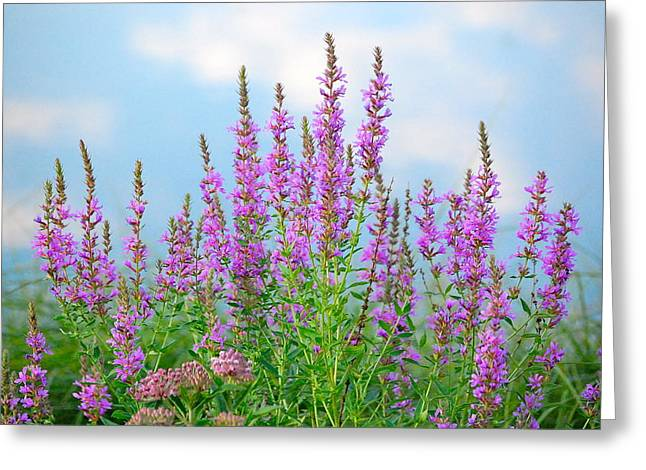 Purple Loosestrife II Greeting Card