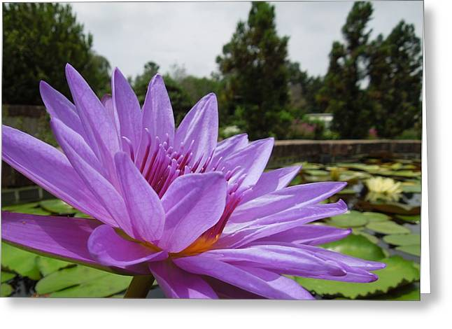 Purple Lotus Flower Greeting Card by Chad and Stacey Hall