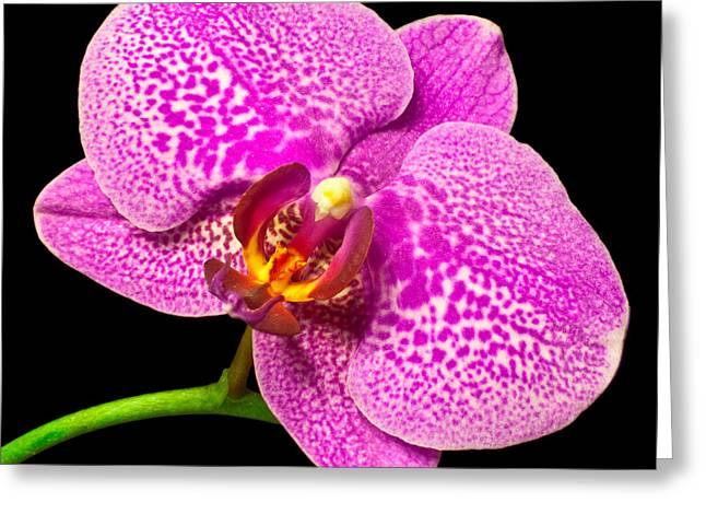 Greeting Card featuring the photograph Purple Orchid Bloom by Michael Waters