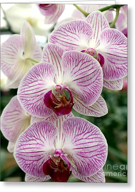Greeting Card featuring the photograph Purple Orchids by Debbie Hart