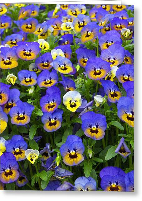 Greeting Card featuring the photograph Purple Pansies 1 by Robert Decker