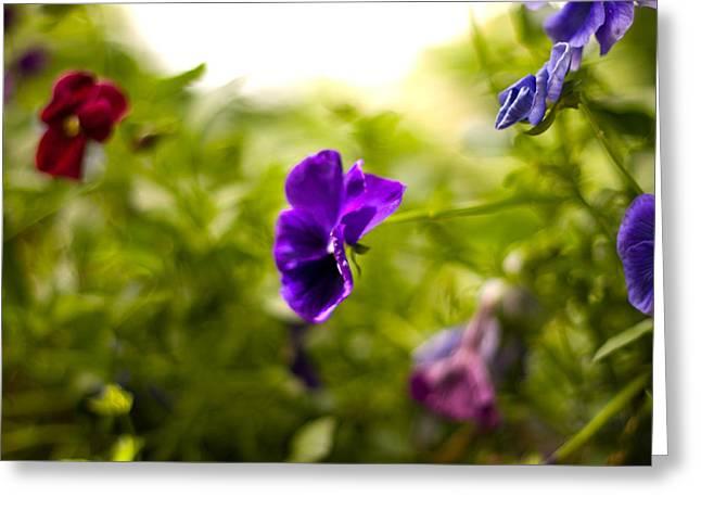 Purple Pansy Greeting Card by Benjamin Clark