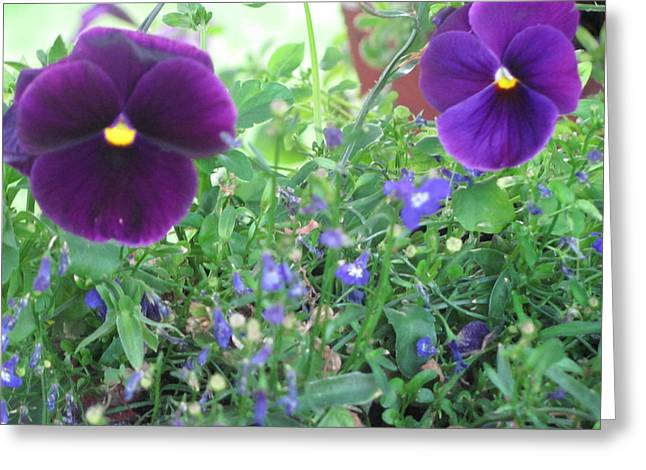 Purple Pansy's Greeting Card by Amy Bradley
