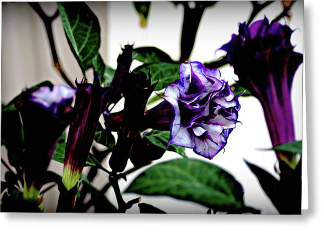 Purple People Eater Trumpet Flower Greeting Card by John Wright