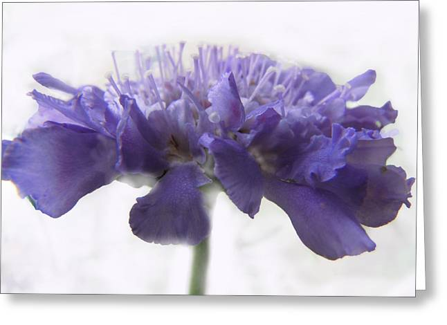Greeting Card featuring the photograph Purple Pincushin by Debbie Portwood