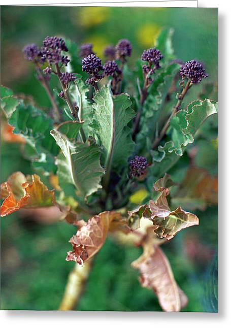 Purple Sprouting Broccoli Greeting Card by David Munns