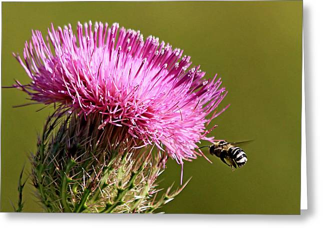Purple Thistle Visited By A Bee Greeting Card