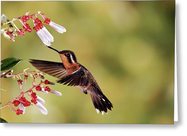 Purple-throated Mountain-gem Lampornis Greeting Card