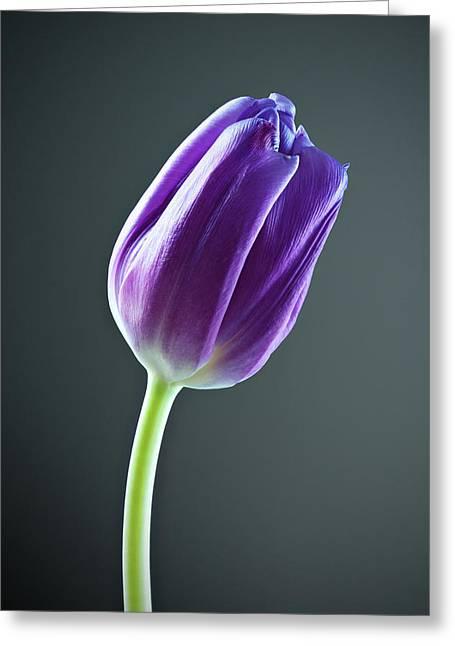 Purple Tulip Greeting Card by Nick  Shirghio