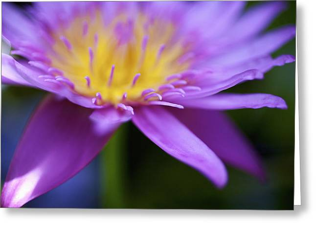 Purple Water Lily Petals Greeting Card by Kicka Witte