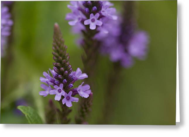 Purple Wildflower Greeting Card by Dean Bennett