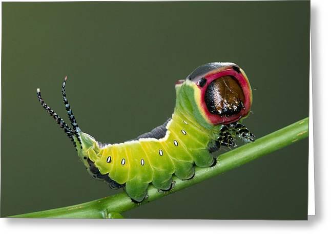 Puss Moth Cerura Vinula On Stem, Europe Greeting Card by Ingo Arndt