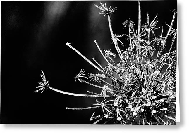 Queen Anne's Lace - 2 Greeting Card by John Girt