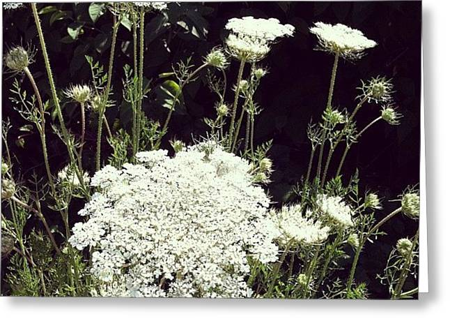 Queen Anne's Lace Greeting Card by Michelle Calkins