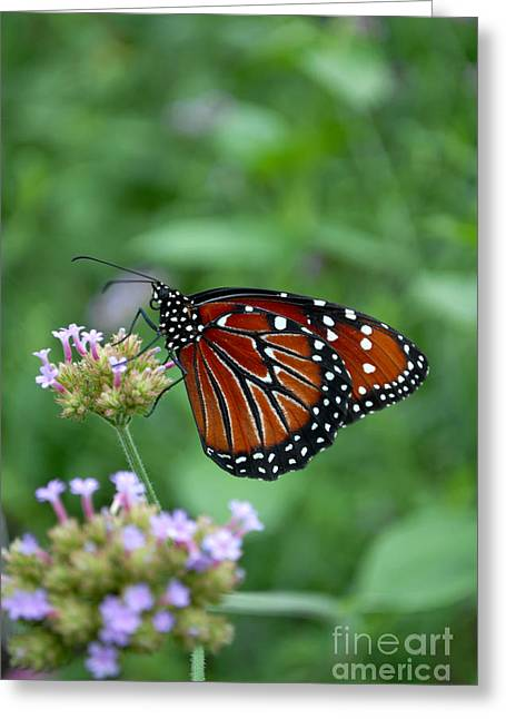 Greeting Card featuring the photograph Queen Butterfly by Eva Kaufman