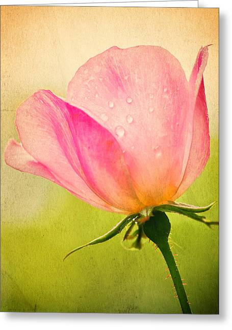 Quigley's Rose Greeting Card by Vicki Jauron
