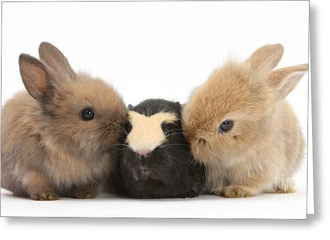 Rabbits With Guinea Pig Greeting Card by Mark Taylor