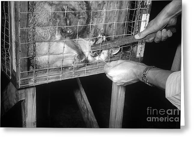 Rabid Fox, 1958 Greeting Card by Science Source