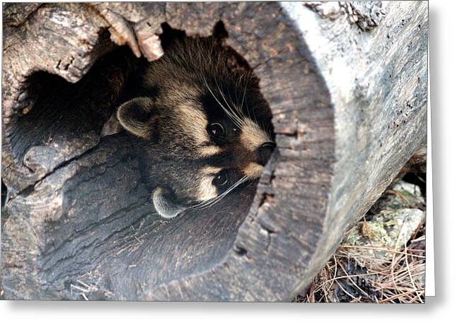 Greeting Card featuring the photograph Raccoon In Hiding by Kathy  White