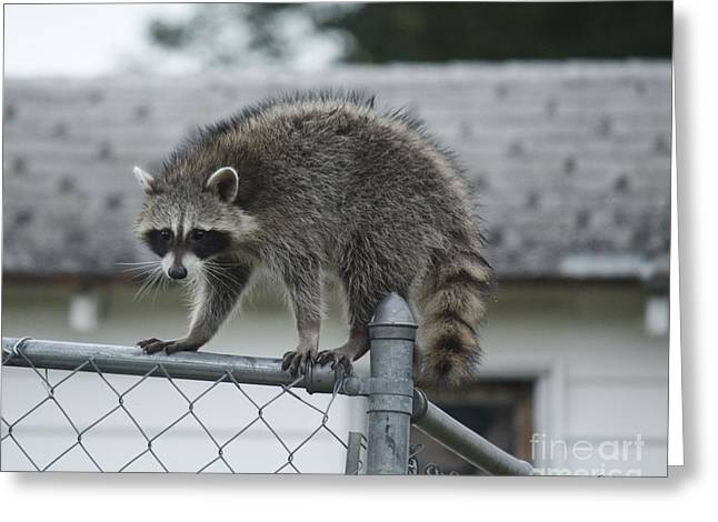 Greeting Card featuring the photograph Raccoon  by Yumi Johnson