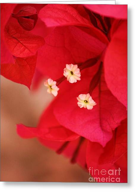 Radish Red Greeting Card by Julie Lueders