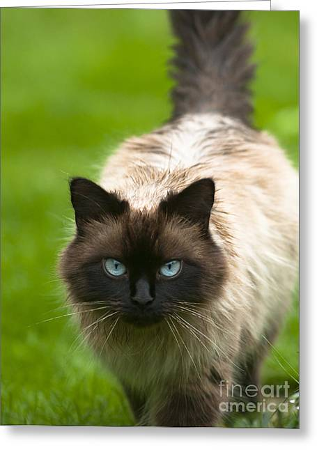 Greeting Card featuring the photograph Ragdoll Cat by Andrew  Michael
