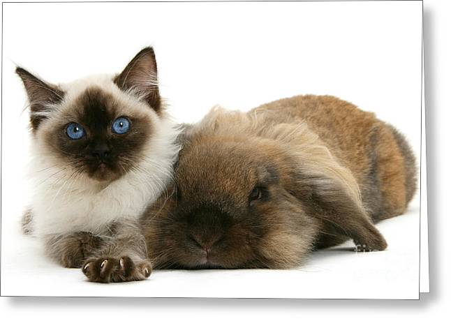 Ragdoll Kitten And Lionhead Rabbit Greeting Card by Mark Taylor