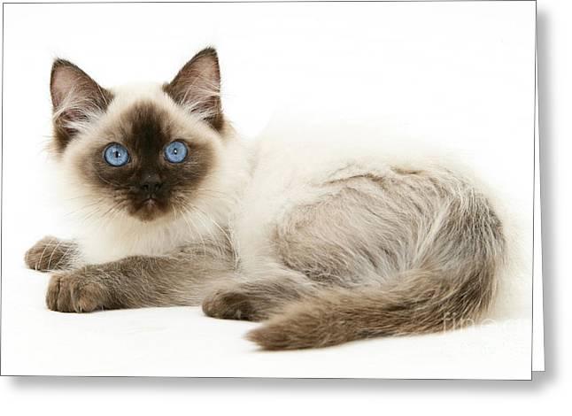 Ragdoll Kitten Greeting Card by Mark Taylor
