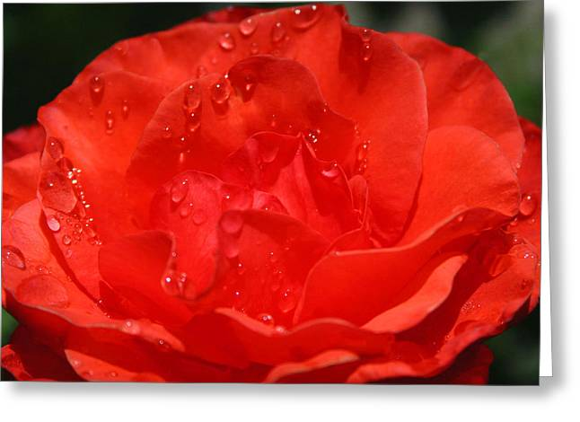 Rain Drop Rose Greeting Card by Tony and Kristi Middleton