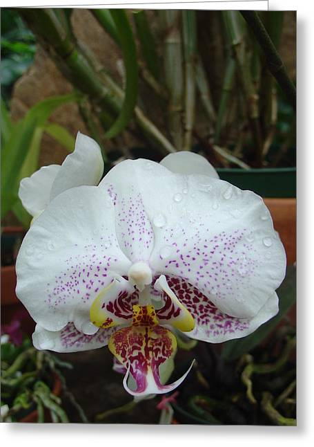 Rain Drops On Orchid Greeting Card