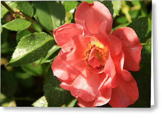 Rain-drops On Roses Greeting Card by Charles Shedd