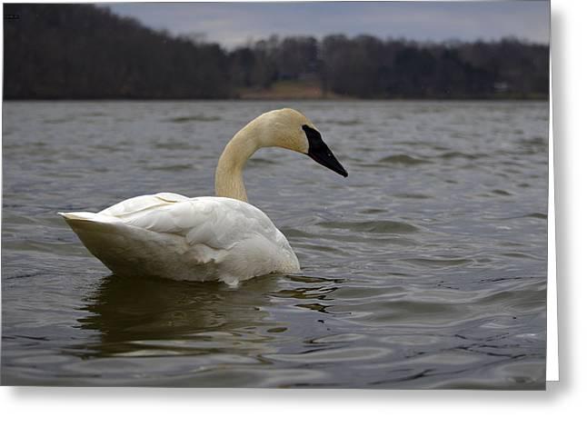 Rain Swan 2 Greeting Card by Brian Stevens