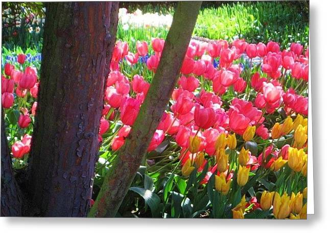 Greeting Card featuring the photograph Rainbow Of Tulips In Skagit County by Karen Molenaar Terrell
