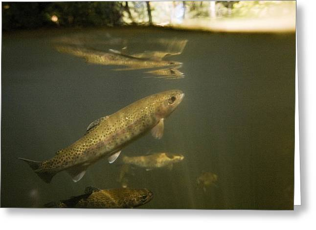 Rainbow Trout In Creek  Aptos California Greeting Card