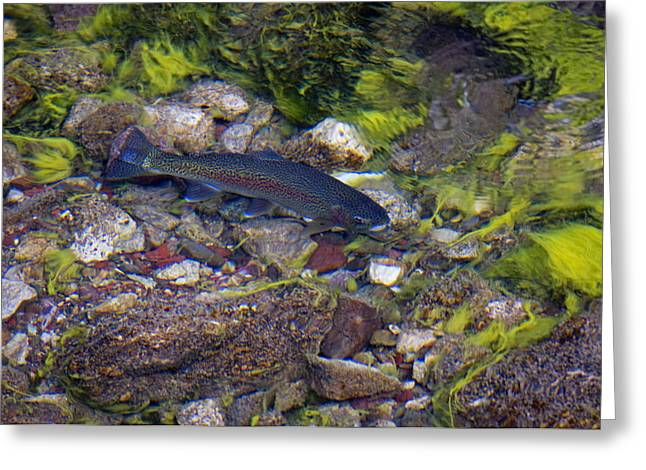 Rainbow Trout In Maligne River, Jasper Greeting Card