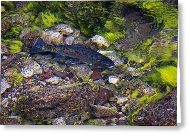 Rainbow Trout Swimming In Maligne Greeting Card