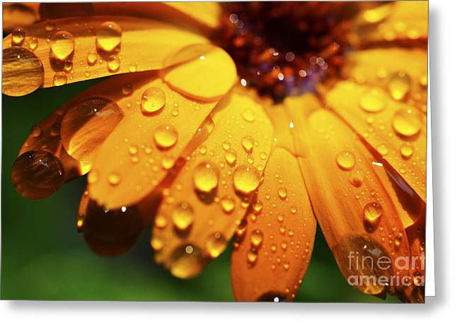 Raindrops On Daisy Greeting Card by Thomas R Fletcher