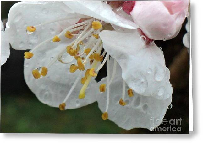 Rainy Apricot Bloom And Bud Greeting Card by Padre Art